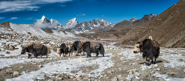 Khumbu「Nepal, Khumbu, Everest region, Yaks near Dingboche」:スマホ壁紙(19)