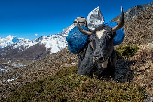 Khumbu「Nepal, Khumbu, Everest region, Dingboche, yak with load」:スマホ壁紙(0)