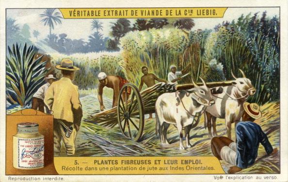 Fiber「Harvest in a jute plantation, East Indies」:写真・画像(13)[壁紙.com]
