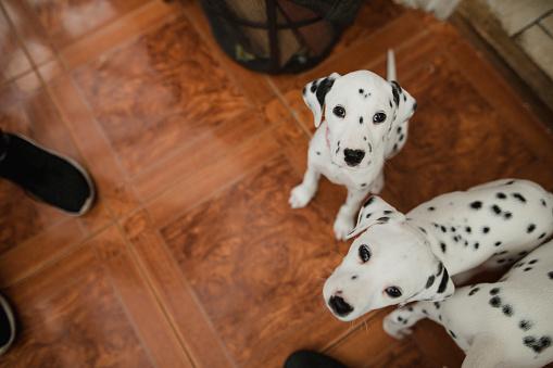 Three Animals「Curious Dalmatian Puppies」:スマホ壁紙(10)