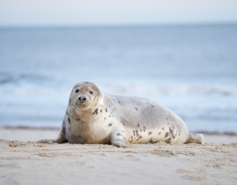 Carefree「Grey seal at beach.」:スマホ壁紙(19)