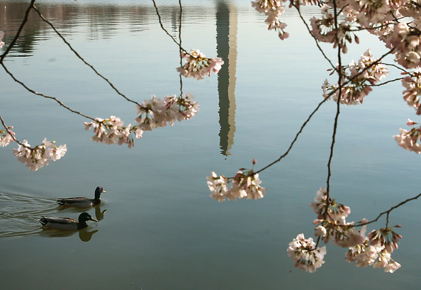 Cherry Blossom「Cherry Blossoms Begin To Bloom In Washington, DC」:写真・画像(9)[壁紙.com]