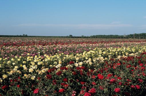 花畑「Multicolor rose farm」:スマホ壁紙(2)