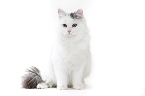Cat「Siberian」:スマホ壁紙(5)