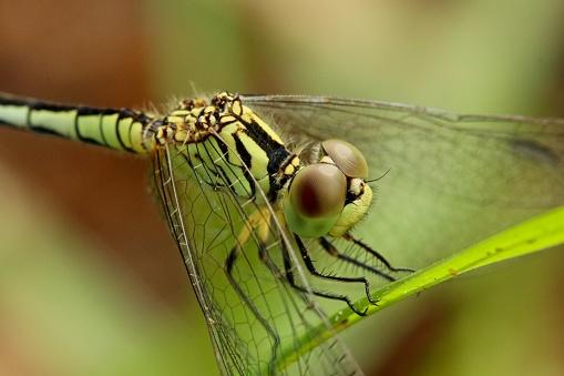 とんぼ「Green Dragonfly (Anisoptera)」:スマホ壁紙(5)