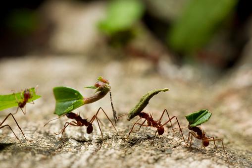 Central America「Leafcutter Ants, Costa Rica」:スマホ壁紙(0)