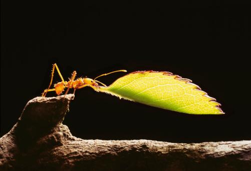 Log「Leafcutter ant (atta cephalotes) holding leaf, close-up」:スマホ壁紙(16)