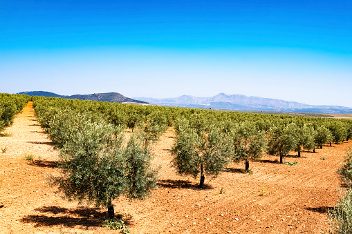 Grove「Spain, Andalusia, Olive plantation in spring」:スマホ壁紙(4)