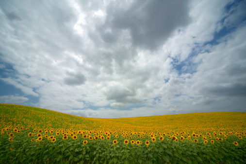 ひまわり「Spain, Andalucia, sunflowers growing in field near Antequera」:スマホ壁紙(11)