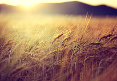 Barley「Spain, Andalusia, Loja, Field at sunset」:スマホ壁紙(2)