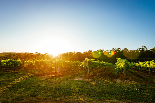 New South Wales「Nature and vineyards in summer」:スマホ壁紙(0)