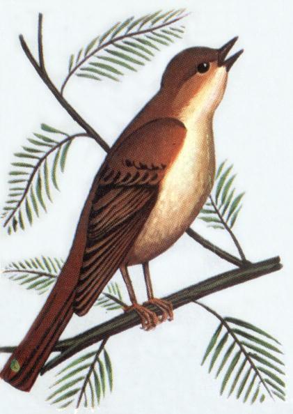 Bird「Nightingale, illustration, 1963」:写真・画像(16)[壁紙.com]