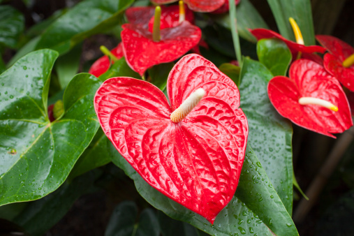 Anthurium「Red Anthurium Tropical Plant」:スマホ壁紙(3)