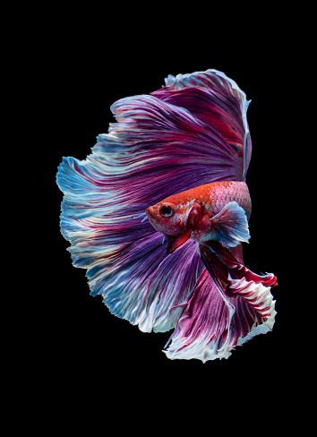 Siamese Fighting Fish「Purple betta fish swimming in an aquarium」:スマホ壁紙(5)