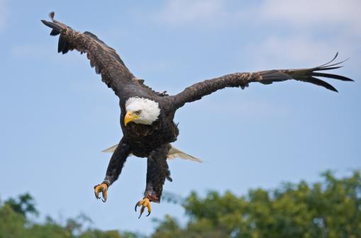 Approaching「Bald eagle on approach」:スマホ壁紙(1)