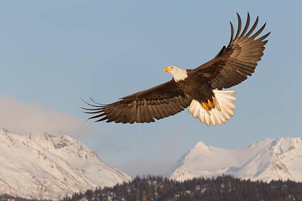 Bald Eagle Soaring Over Mountains:スマホ壁紙(壁紙.com)