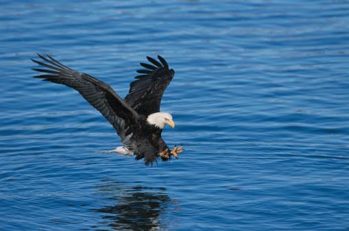 Animals Hunting「Bald Eagle Hunts in Ocean」:スマホ壁紙(11)