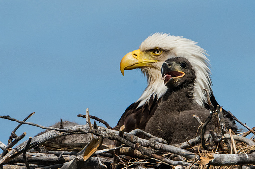 Bird of Prey「Bald Eagle, nesting」:スマホ壁紙(2)