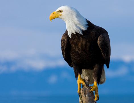 Animal Wildlife「Bald Eagle Perched on Stump - Alaska」:スマホ壁紙(10)