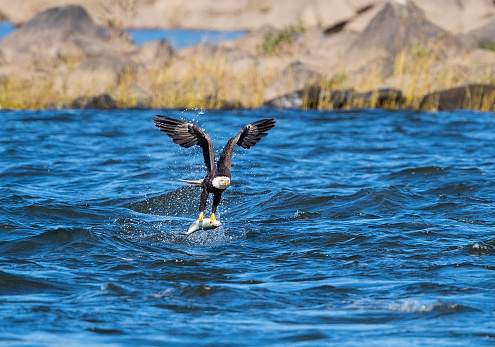Animals Hunting「Bald eagle catching a fish in flight over the river, Haliaeetus leucocephalus」:スマホ壁紙(8)