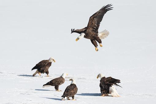 Teenager「Bald eagle feeding snow」:スマホ壁紙(4)