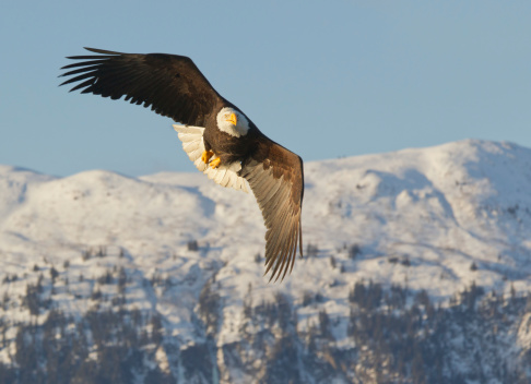 Approaching「Bald eagle flying and snow covered mountains」:スマホ壁紙(19)