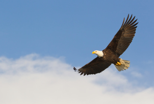 Animals Hunting「Bald eagle gliding against blue sky and white wispy clouds」:スマホ壁紙(11)