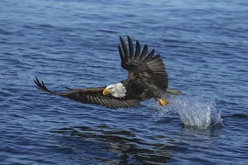 鳥「A bald eagle (Haliaeetus leucocephalus) fishes along the shoreline in Southest Alaska」:スマホ壁紙(4)