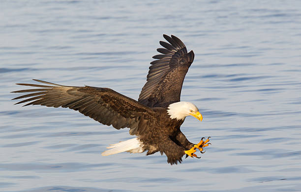 Bald eagle diving with wings outstretched:スマホ壁紙(壁紙.com)