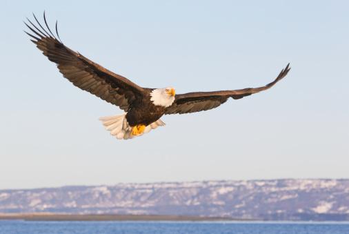 Flapping Wings「Bald Eagle Flying」:スマホ壁紙(18)
