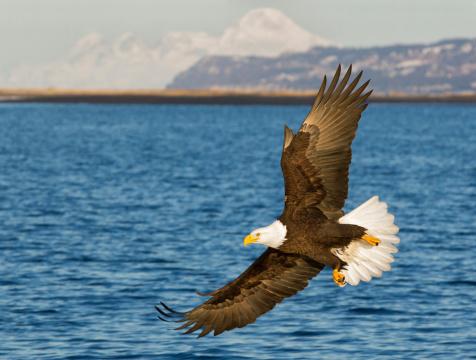 Katmai National Park「Bald Eagle Flying」:スマホ壁紙(13)