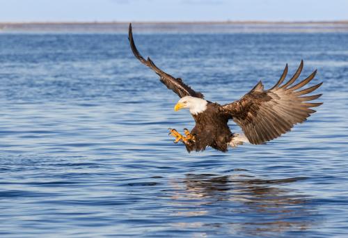 Animals Hunting「Bald Eagle Flying」:スマホ壁紙(7)