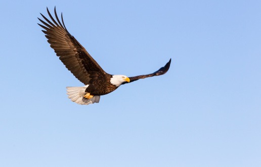 Animals Hunting「Bald Eagle Flying」:スマホ壁紙(10)