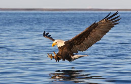 Bird of Prey「Bald Eagle Flying」:スマホ壁紙(10)