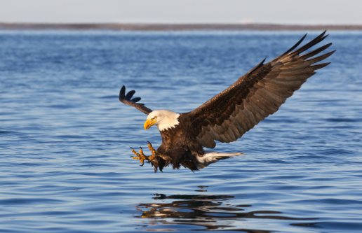 Eagle - Bird「Bald Eagle Flying」:スマホ壁紙(11)