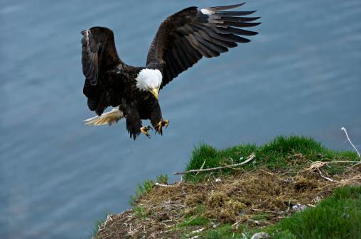 Hawk - Bird「Bald Eagle, Haliaeetus leucocephalus, in flight landing on nest. Unalsaka Island, Dutch Harbor, Alaska. USA」:スマホ壁紙(8)