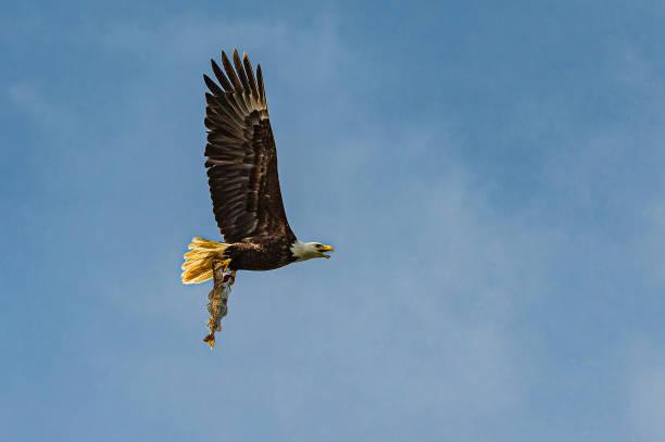 Bald Eagle, Haliaeetus leucocephalus, flying with a Walleye Pollock fish, Theragra chalcogramma. Stephens Passage, Alaska.:スマホ壁紙(壁紙.com)