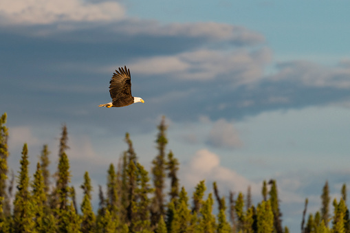 Animal Wing「Bald eagle, haliaeetus leucocephalus, in Alaska. National bird of the United States of America.」:スマホ壁紙(0)