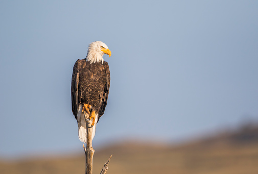 Bird of Prey「Bald Eagle (Haliaeetus Leucocephalus) perching on dead tree snag near lake, Sublette County, Wyoming, USA」:スマホ壁紙(8)