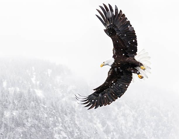 Bald Eagle Flying in Snow Storm:スマホ壁紙(壁紙.com)