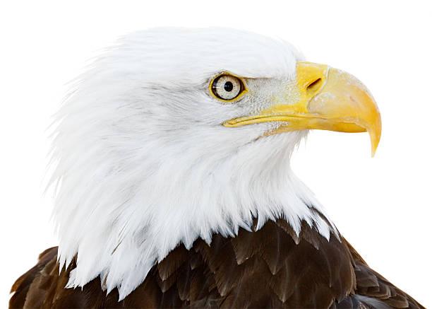 Bald Eagle isolated on white background:スマホ壁紙(壁紙.com)