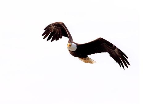 Eagle - Bird「Bald eagle」:スマホ壁紙(13)