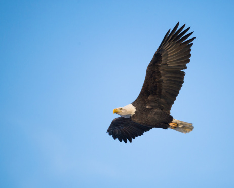 Spread Wings「Bald Eagle (Haliaeetus leucocephalus) in flight」:スマホ壁紙(19)