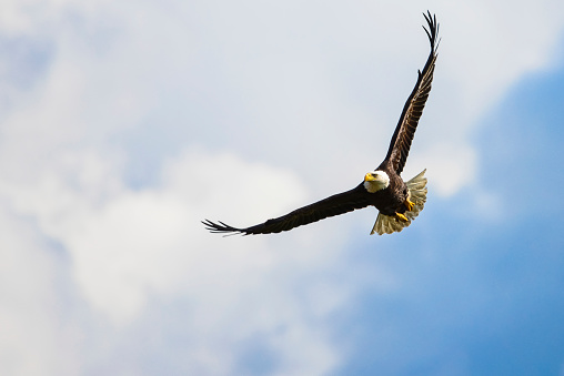 Bird of Prey「A bald eagle (Haliaeetus leucocephalus) soars over the Serpentine River looking for fish」:スマホ壁紙(7)