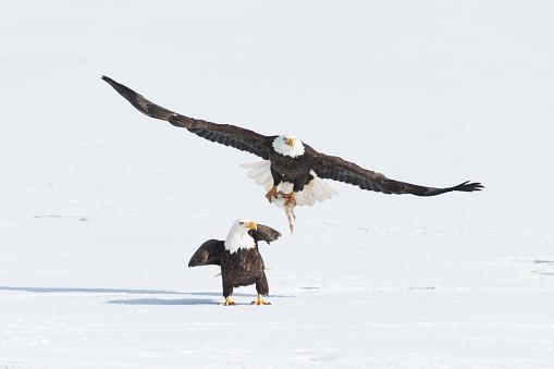 Teenager「Bald eagle fight snow」:スマホ壁紙(7)