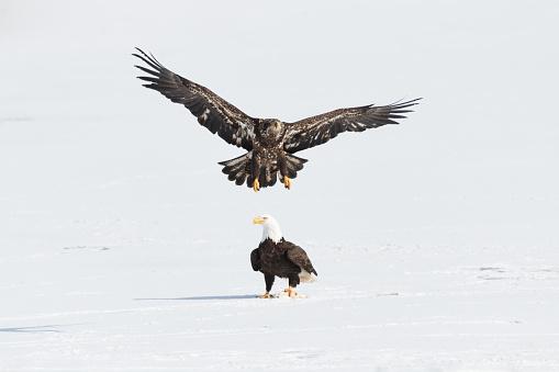 Teenager「Bald eagle fight snow」:スマホ壁紙(11)