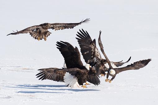 Teenager「Bald eagle fight snow」:スマホ壁紙(6)