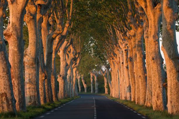 A line of trees on a road in Languedoc, France:スマホ壁紙(壁紙.com)