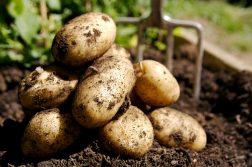 Crop - Plant「Fresh Potatoes...」:スマホ壁紙(11)