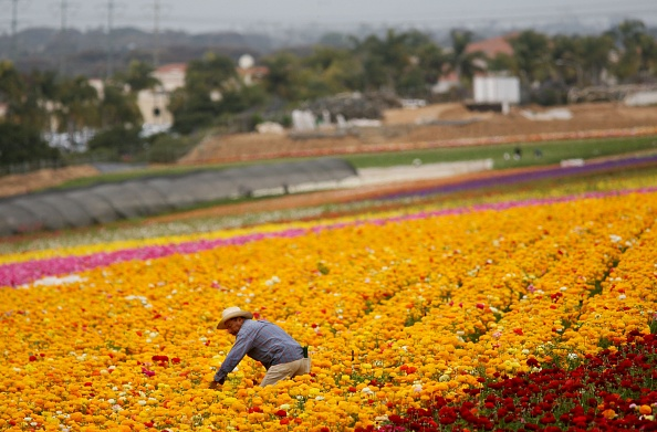 Agricultural Field「Immigrant Laborers Harvest California's Produce」:写真・画像(15)[壁紙.com]